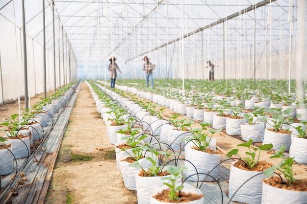 Meloenenplantage met arbeiders