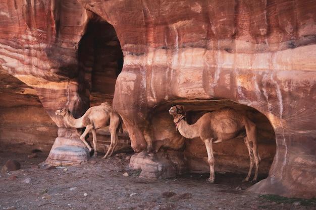 Men bromde kamelen in grotten in de woestijnbergen van petra, jordanië