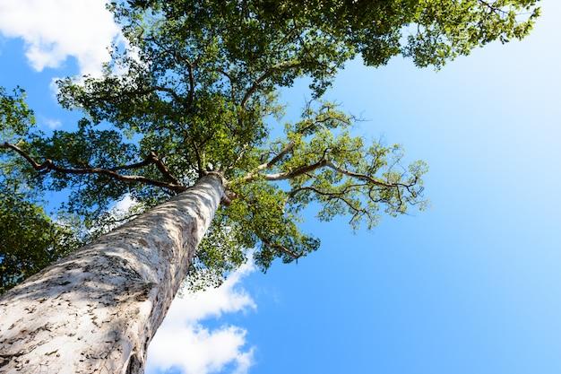 Mening tot de boombovenkant van een reusachtige vliegtuigboom in blauwe zonnige dag.