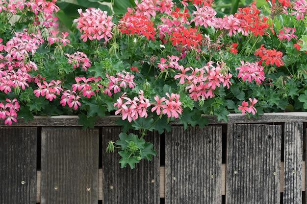 Mening van bloeiende struiken van roze geraniums achter een oude houten omheining.