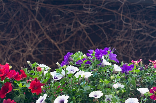 Mening van de bloeiende petunia van verschillende kleuren tegen de achtergrond van een droge wijnstok.
