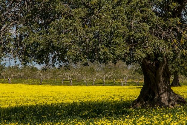 Mening van een boomgaard van de johannesbroodboom op een gebied van gele bloemen op het platteland van portugal.