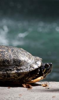 Mening van een rode eared schildpad die bij de zon op een vijver ontspannen.