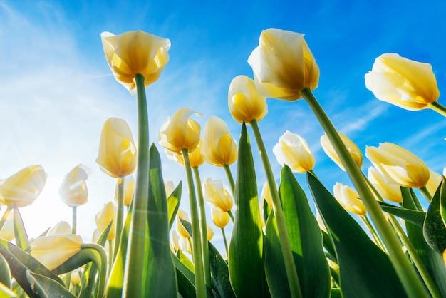 Mening van gele tulpenrijen in de zomer