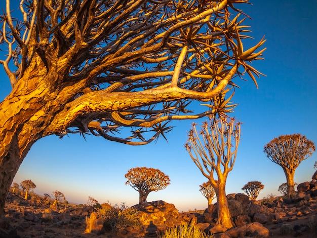 Mening van het quivertree-bos bij zonsondergang in namibië, afrika.