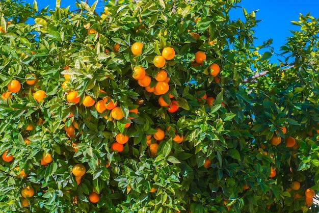 Mening van mandarijnboom in een blauwe hemel