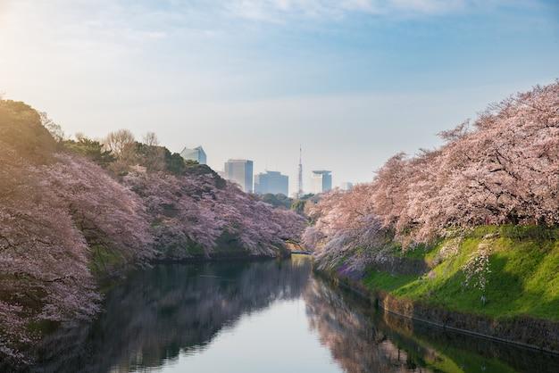 Mening van massieve kers die in tokyo, japan als achtergrond tot bloei komt.