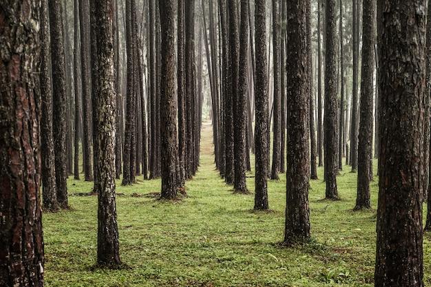 Mening van pijnboombomen in het naaldbos