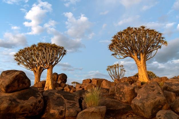Mening van quiver bomenbos met mooie hemel de zonsondergangscène van de schemeringhemel in keetmanshoop, namibië