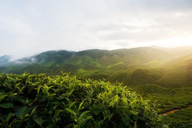 Mening van theeaanplanting in zonsondergang / zonsopgangtijd binnen in cameron-hooglanden, maleisië.