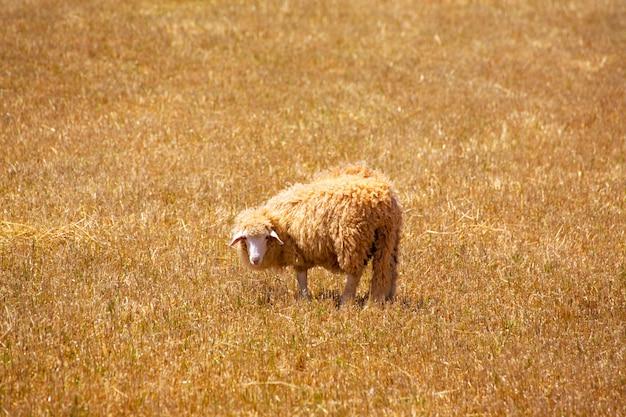 Menorca-schapen die in gouden droge weide weiden