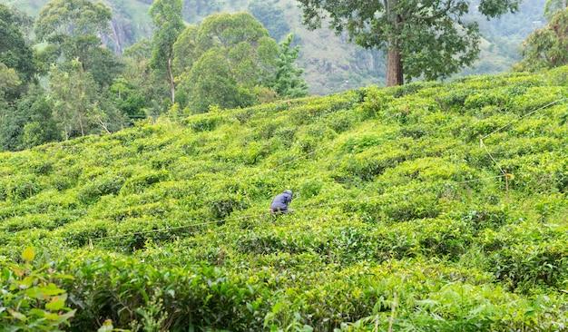 Mens die aan het groene gebied van theeaanplantingen werkt op het berggebied van sri lanka