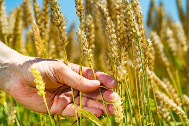 Mens houdt tarwe in zijn hand op de achtergrond van veld in de zomer