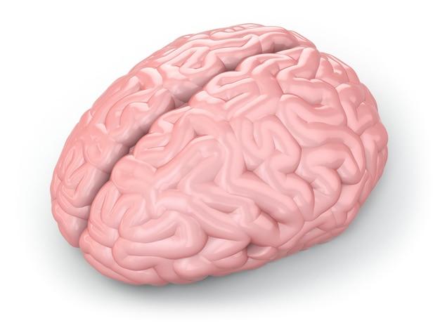 Menselijk brein op witte geïsoleerde achtergrond. 3d
