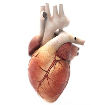Menselijk hart anatomie