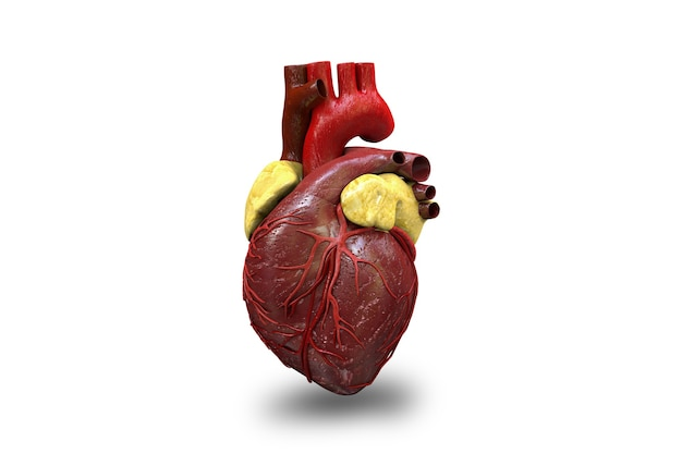 Menselijk hart op witte achtergrond 3d illustratie