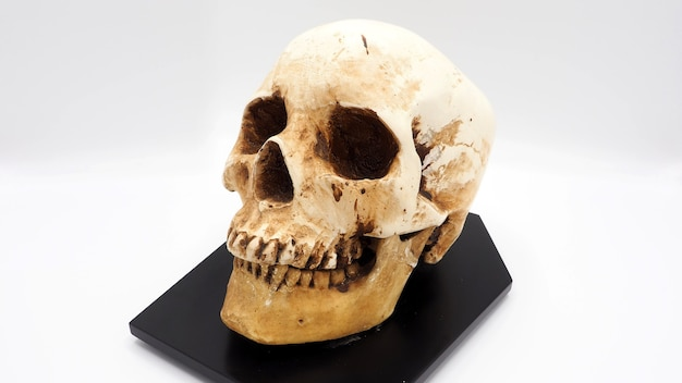 Menselijk schedelhoofdmodel gemaakt van rasin plastic en witte achtergrond.