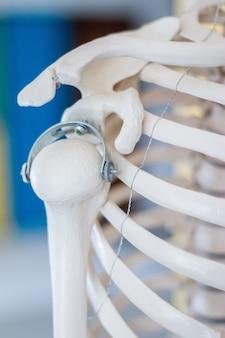 Menselijk schouderskeletmodel