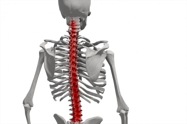 Menselijk skelet, illustratie van de wervelkolom, geïsoleerde rugpijn