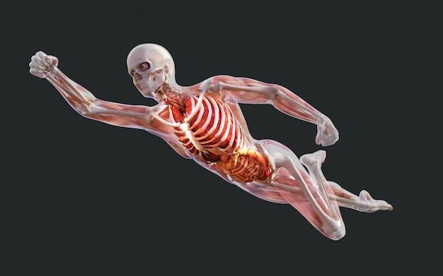 Menselijk skelet spierstelsel, botten en spijsverteringsstelsel met uitknippad