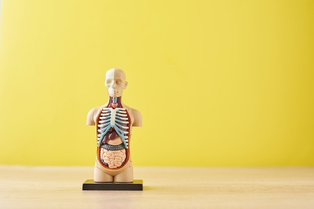 Menselijke anatomie mannequin met interne organen op een gele achtergrond