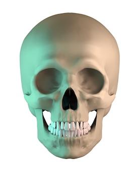 Menselijke anatomische schedel op geïsoleerd