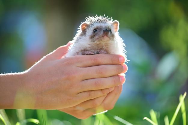 Menselijke handen met kleine afrikaanse egel huisdier buiten op zomerdag. het houden van huisdieren en het verzorgen van huisdieren concept.