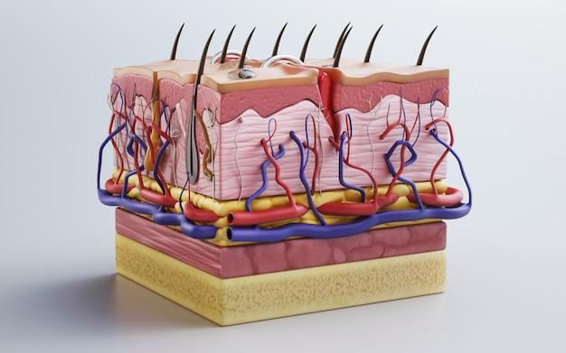 Menselijke huid, huidstructuur, lichaamsvet. 3d-weergave
