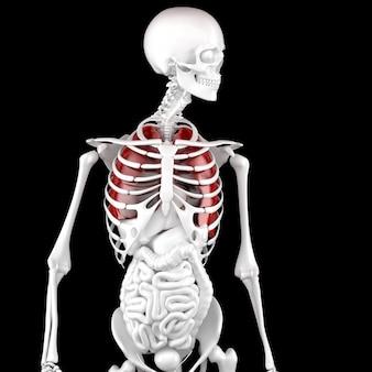 Menselijke mannelijke anatomie. skelet en gemarkeerde longen. 3d illustratie.