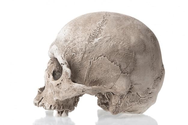 Menselijke schedel geïsoleerd met reflectie. zijaanzicht