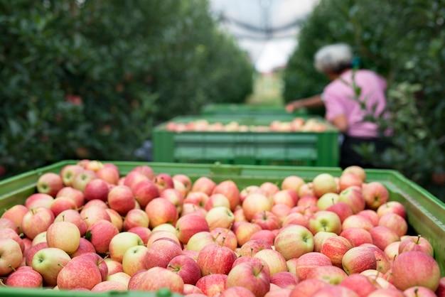 Mensen die in een appelboomgaard werken, fruit plukken en in een mand leggen