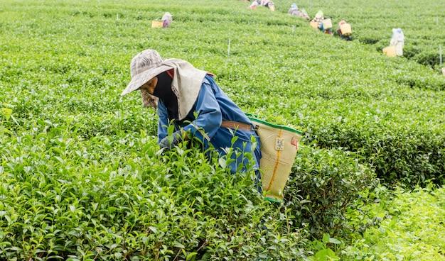 Mensen die theebladen plukken bij een theeaanplanting