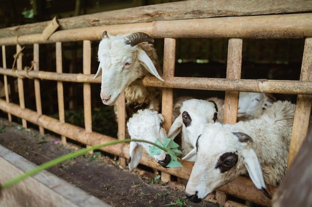 Mensen geven lommerrijke stengels aan schattige geiten in kooien op de boerderij