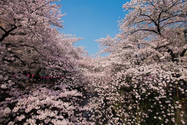 Mensen lopen en genieten van sakura kersenbloesem bij nakameguro kanaal