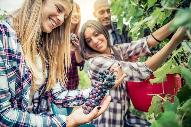 Mensen oogsten in een wijngaard