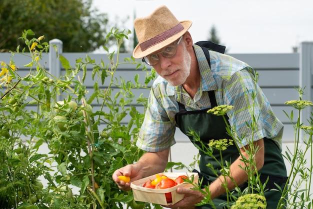 Mensentuinman het plukken tomaten in de moestuin