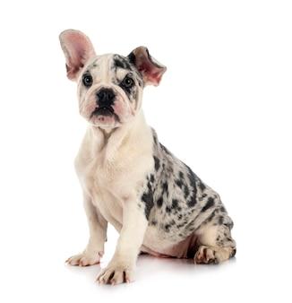 Merle franse bulldog voor witte achtergrond