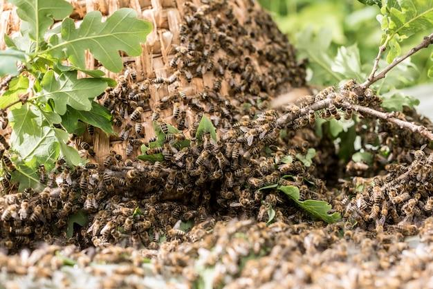 Met de hand gemaakte oude strawe bijenkorf om bij in aard te vangen.