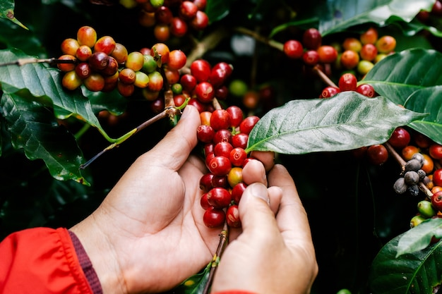 Met de hand koffiebessen oogsten