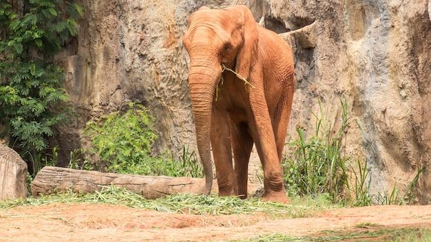 Met een afrikaanse olifant bekleed lichaam met rode modder om lichaam en huid tegen zonlicht te beschermen.