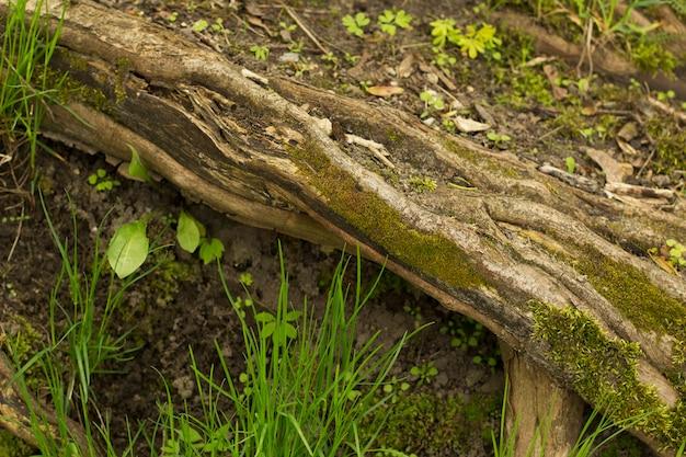 Met groene mos bedekte boomstam clooseup