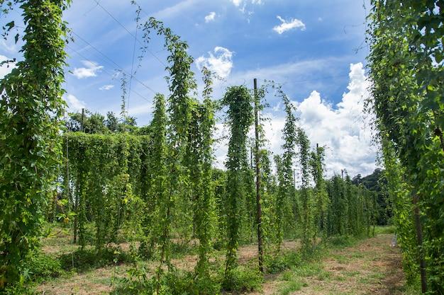 Met het oog op groene hop veld met gebonden planten voorbereid voor de oogst.