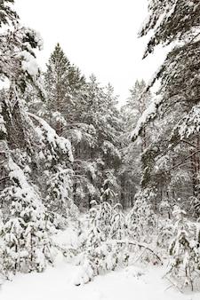 Met sneeuw bedekte dennen die in het winterseizoen in het bos groeien.