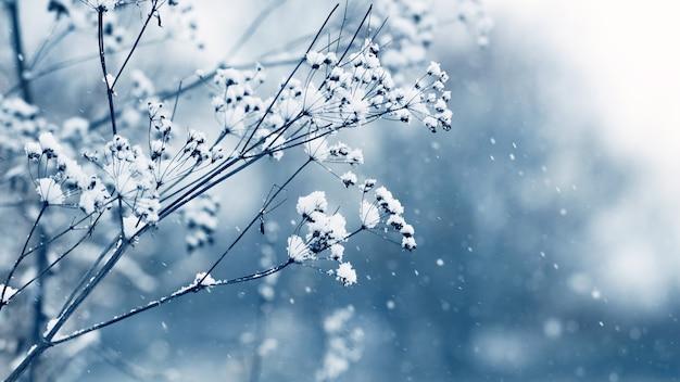 Met sneeuw bedekte droge scheuten van gras