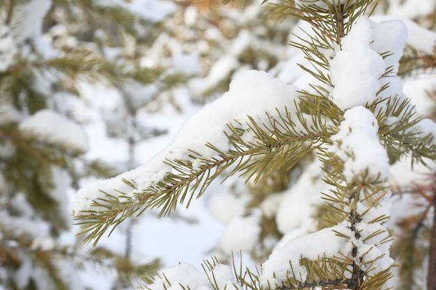 Met sneeuw bedekte takken van dennen