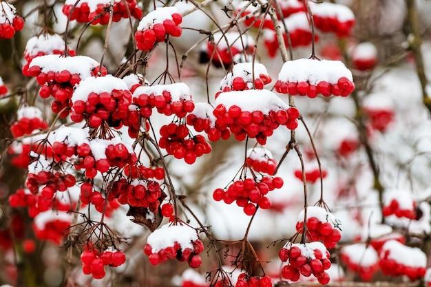 Met sneeuw bedekte trossen viburnum in de struik