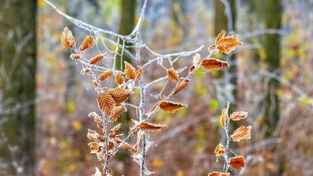Met vorst bedekte droge bladeren op een tak in het bos
