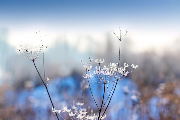 Met vorst bedekte stengels van gedroogde planten in de wei in de winter op een onscherpe achtergrond, winterachtergrond