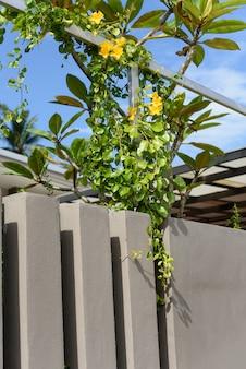 Metalen hek met mooie gele bloemen tegen zomerblauwe lucht, cat's claw, catclaw vine, cat's claw creeper planten