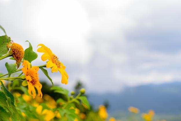 Mexicaans zonnebloemonkruid en blauwe hemelachtergrond.